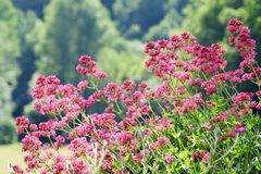 Rode Valeriaanbloem, Centranthus Ruber stock foto's
