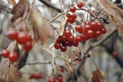 rode van de de boomtak van bessenviburnum van de de bladerenherfst braun de aardtuin Royalty-vrije Stock Foto