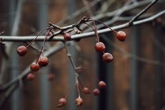 rode van de de tak houten omheining van de bessenboom van het de herfstonduidelijke beeld aard als achtergrond Stock Foto
