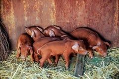 Rode varkens van Duroc ras Onlangs geboren E royalty-vrije stock afbeelding