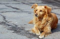 Rode verdwaalde hond Royalty-vrije Stock Afbeeldingen