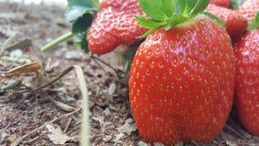 Rode verse aardbeien in gebiedstastey Royalty-vrije Stock Afbeelding