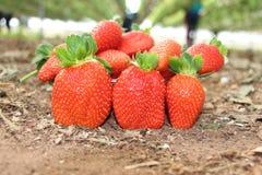 Rode verse aardbeien op het smakelijke gebied stock afbeelding