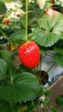 Rode verse aardbeien op het smakelijke gebied Stock Foto's