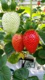 Rode verse aardbeien op het smakelijke gebied Stock Fotografie