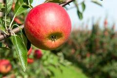 Rode verse appel Stock Foto's