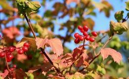 Rode viburnum Royalty-vrije Stock Fotografie