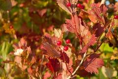 Rode Viburnum-bessen in de boom Royalty-vrije Stock Fotografie