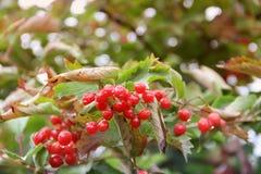 Rode viburnum De herfst rode bessen royalty-vrije stock afbeeldingen