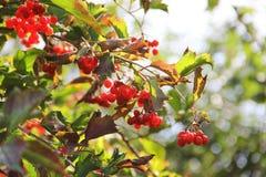 Rode viburnum De herfst rode bessen royalty-vrije stock foto