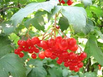 Rode viburnumbes Stock Fotografie