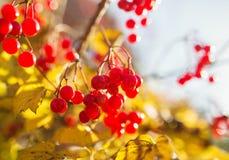 Rode viburnumbessen Royalty-vrije Stock Afbeeldingen