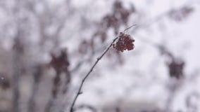 Rode viburnumbessen die met sneeuw op een tak worden bestrooid stock video