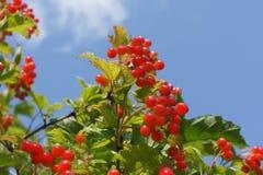 Rode viburnumbessen op een achtergrond van blauwe hemel Stock Foto's