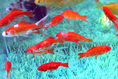 Rode vissen Royalty-vrije Stock Foto's