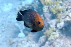 Rode vissen die overgaan door stock afbeelding