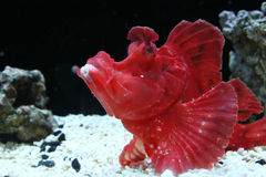 Rode vissen op een zwart-witte achtergrond Royalty-vrije Stock Foto