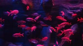 Rode vissen zwemmende acquarium stock videobeelden