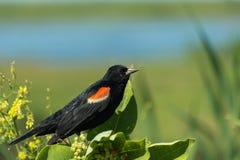 Rode vleugelmerel Stock Foto