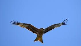 Rode Vlieger Stock Afbeelding