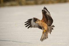 Rode Vlieger met open vleugels Stock Foto
