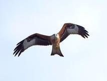 Rode vlieger (milvus Milvus) Stock Foto