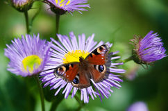 Vlinder op blauwe bloem Stock Foto's