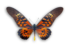 Rode vlinder die op wit wordt geïsoleerdP stock fotografie