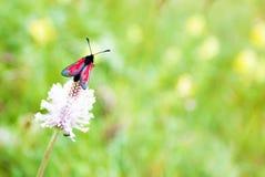 Rode vlinder op klaver, macrofoto stock foto's