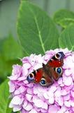 Rode vlinder op roze bloem Stock Afbeeldingen