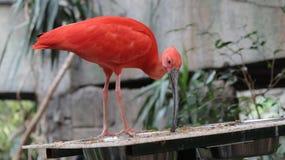 Rode Vogel bij het Vogelhuis van Vogelkindgom in Niagara-Dalingen, Canada Stock Afbeelding