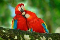 Rode vogelliefde Paar van grote papegaai Scharlaken Ara, Aronskelken die Macao, twee vogels op tak, Costa Rica zitten De scène va royalty-vrije stock foto's