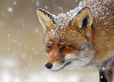 Rode vos royalty-vrije stock afbeelding