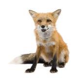 Rode vos (4 jaar) - Vulpes vulpes Stock Afbeelding