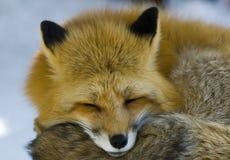 Rode vos Royalty-vrije Stock Afbeeldingen