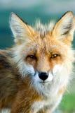 Rode vos Stock Afbeelding