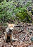 Rode vos Cazorla en Segura natuurreservaat Spanje Royalty-vrije Stock Afbeelding