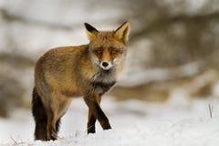 Rode vos in de sneeuw Royalty-vrije Stock Foto's