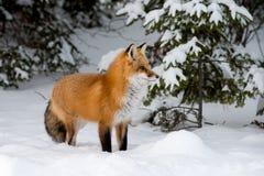 Rode vos in de sneeuw stock fotografie