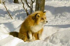 Rode vos in de winter royalty-vrije stock afbeelding