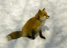 Rode vos in de winter royalty-vrije stock foto's