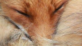 Rode vos dichte omhooggaand stock video