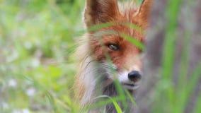 Rode vos dichte omhooggaand stock videobeelden