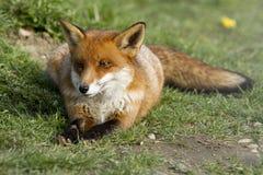Rode vos die op gras wordt gelegd Stock Foto