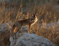 Rode vos die terug over zijn schouder kijken stock afbeelding