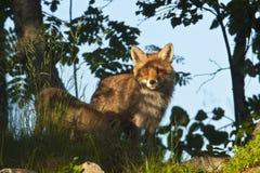 Rode vos die zich in diep gras, de Vogezen, Frankrijk bevinden Royalty-vrije Stock Foto
