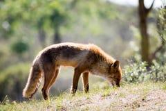 Rode vos die zich op een zonnige heuvel bevinden Royalty-vrije Stock Afbeeldingen