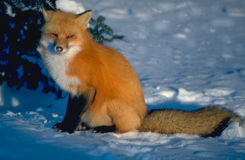 Rode vos die zon onder ogen ziet royalty-vrije stock fotografie