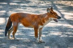 Rode Vos in dierentuin Stock Foto's