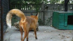 Rode vos in een dierentuinkooi stock videobeelden